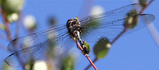 Which dragonfly is this? - Brechmorhoga mendax