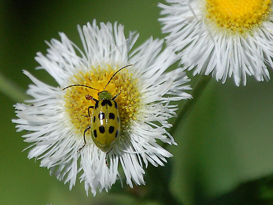 green ladybug - Diabrotica undecimpunctata