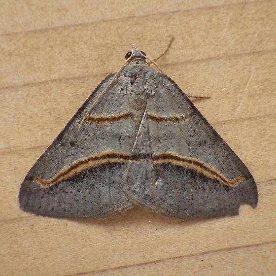 Geometridae: Digrammia mellistrigata - Digrammia mellistrigata