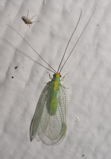 Green lacewing with yellow head - Leucochrysa pavida