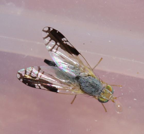 Trupanea cf nigricornis - Trupanea bisetosa - female