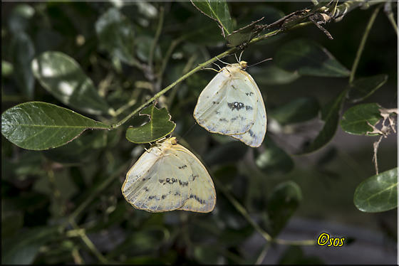 Moth or butterfly chrysalis? - Phoebis agarithe