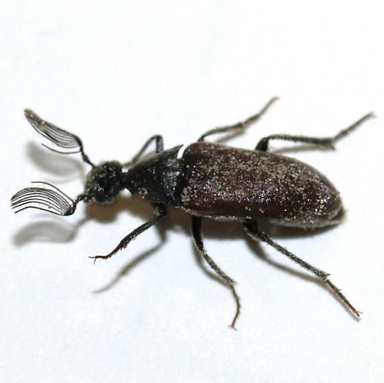 Rhipiphoridae? - Ptilophorus wrightii - male