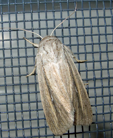 Which Wainscot? - Leucania extincta