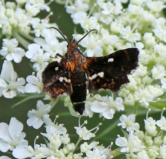 Looks like some type of Sphinx Moth, colored like a Silver-spotted Skipper - Thyris maculata