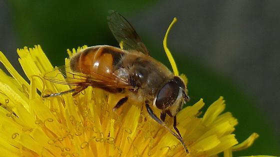 Mountaintop Fly - Eristalis tenax