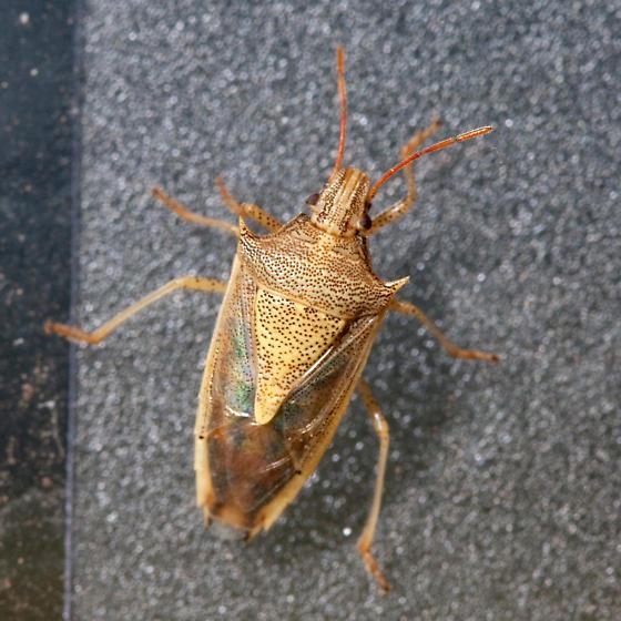 Rice stinkbug (Oebalus pugnax)? - Oebalus pugnax