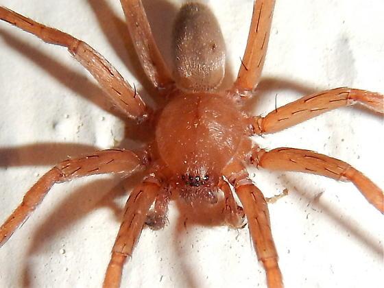 spider - Titiotus