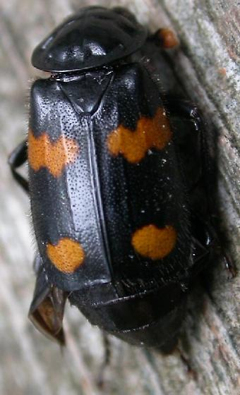 Black Beetle with orange spots  - Nicrophorus orbicollis