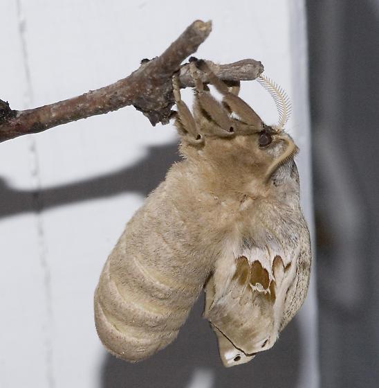 Polyphemus arrival - Antheraea polyphemus - female