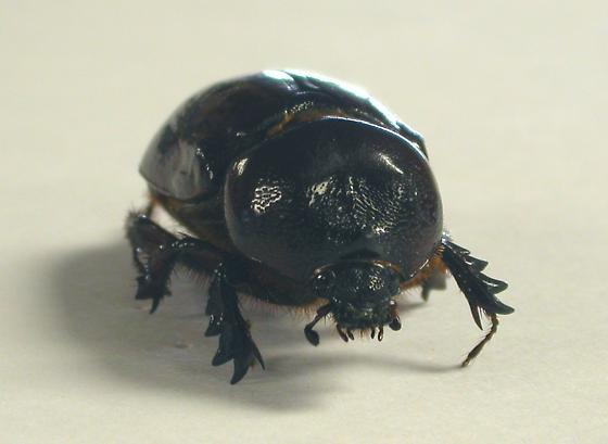 Earth burrowing beetle - Strategus splendens