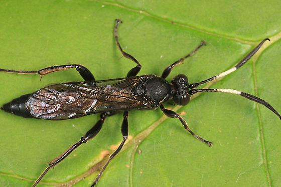 Ichneumon - Coelichneumon barnstoni - female
