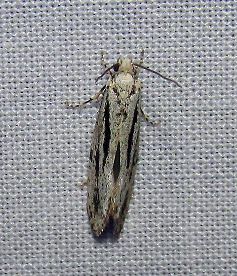 Unident and to remain so untill someone names it..Ken, BP, and i were unable to id - Nemapogon oregonella