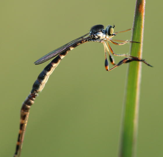 Asilids - Leptogaster - male - female