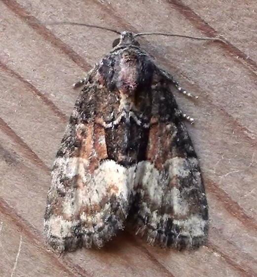Noctuidae: Neoligia subjuncta - Neoligia subjuncta