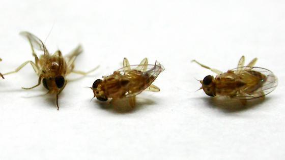 Parasitoids - Pseudogaurax signatus - male - female