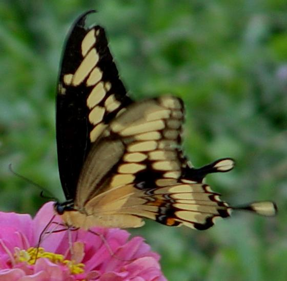 Giant Swallowtail - Papilio cresphontes - male