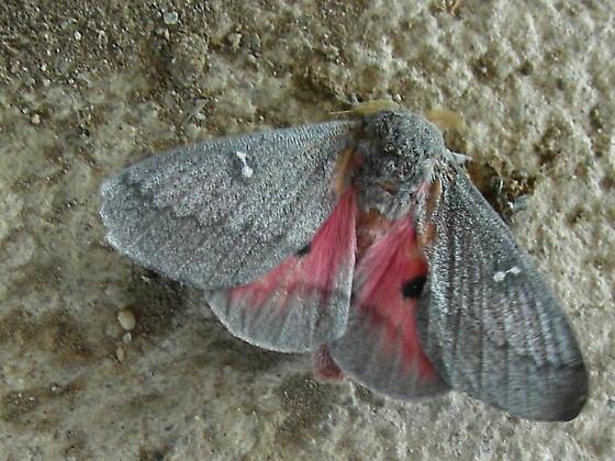 Hubbard's Silk Moth - Syssphinx hubbardi