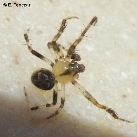 Small little guy - Araneus pegnia - male