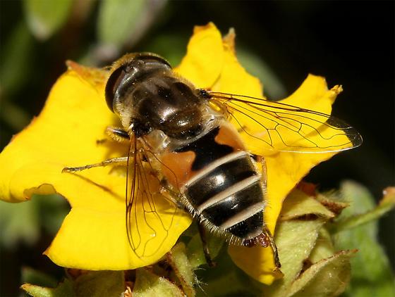 unidentified Syrphidae - Eristalis arbustorum
