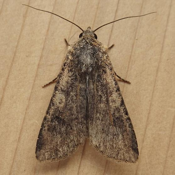 Noctuidae: Peridroma saucia - Peridroma saucia