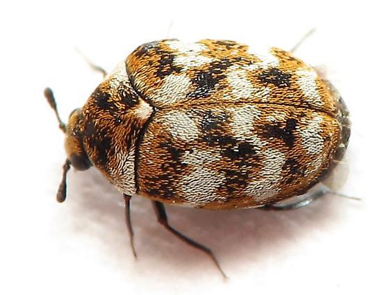 Ladybird Beetle? - Anthrenus verbasci
