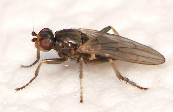 Lesser Dung fly