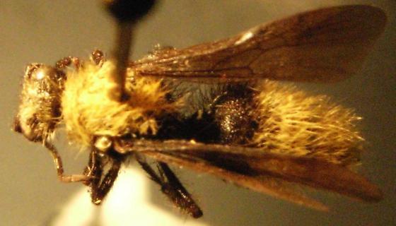 Dasymutilla arenivaga - male