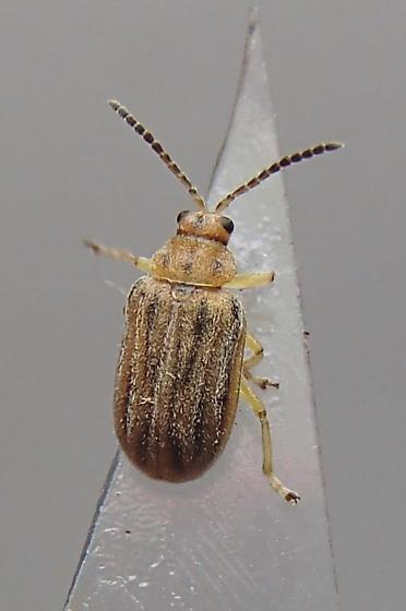 Beetle - Ophraella communa