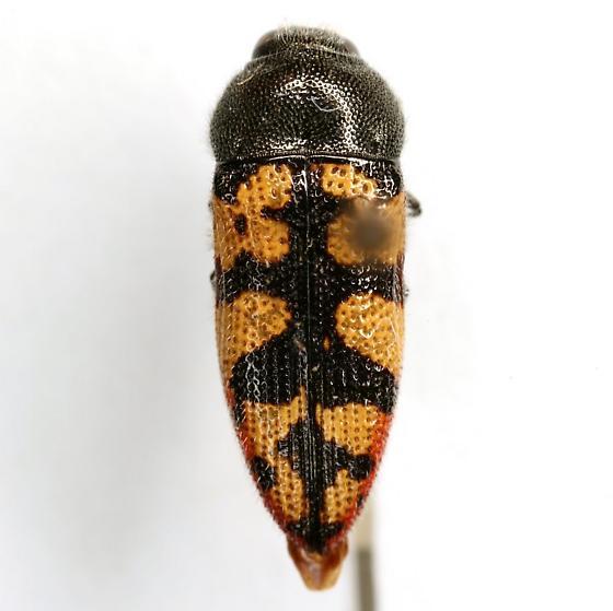 Acmaeodera tiquilia Westcott & Barr - Acmaeodera tiquilia