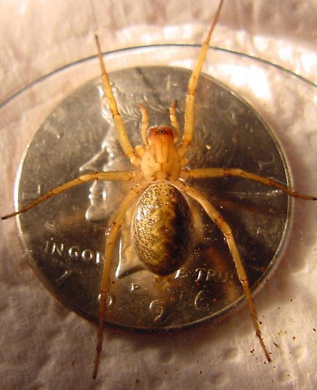 Diamondback Rattle Spider? ;o) - Eratigena agrestis - female