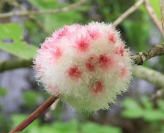 Wool Sower - Callirhytis seminator