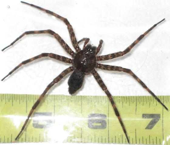 Wolf spider from Northern KY - Dolomedes - female
