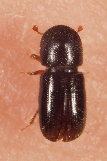 Unknown beetle - Anisandrus dispar