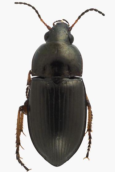 Ground beetle - Amara littoralis
