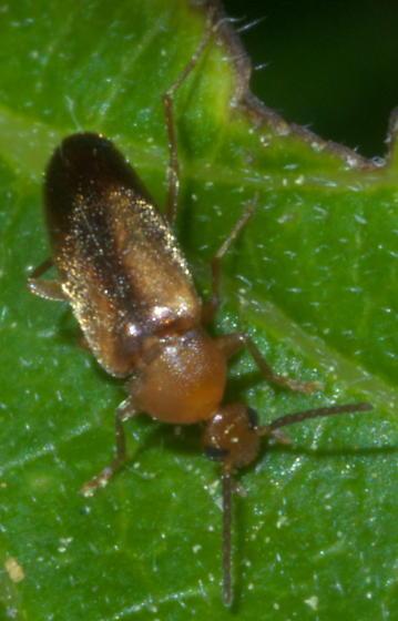 Small brown and black beetle - Allopoda lutea