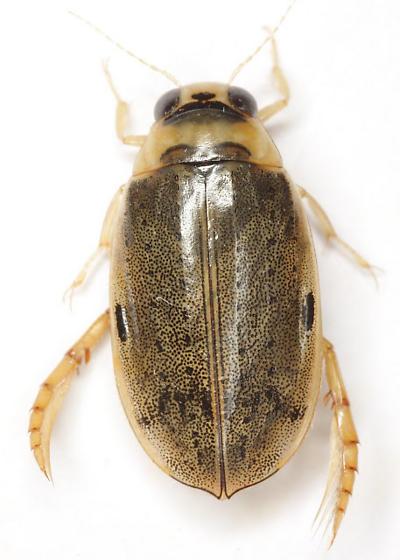 Eretes occidentalis (Erichson) - Eretes sticticus