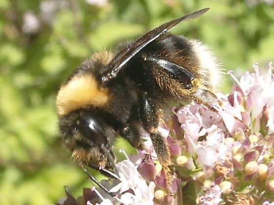 Bee to ID please. - Bombus occidentalis - female