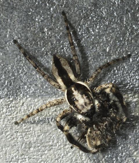 fence post salticid - Menemerus bivittatus - male