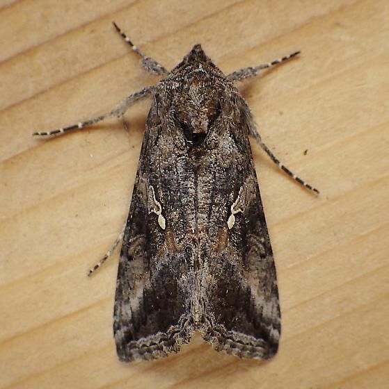 Noctuidae: Rachiplusia ou - Rachiplusia ou