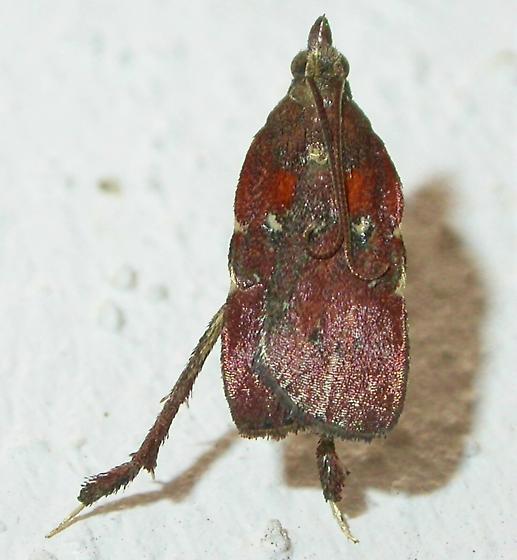 Galasa nigrinodis