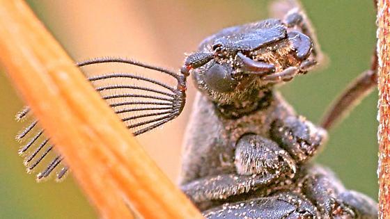 Beetle ~9mm - Ptilophorus wrightii - male