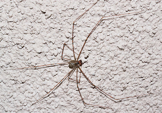 - - Pholcus phalangioides - male