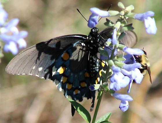 pipevine swallowtail? - Battus philenor