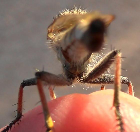 Robber Monster (sunlight rear) - Efferia albibarbis - male