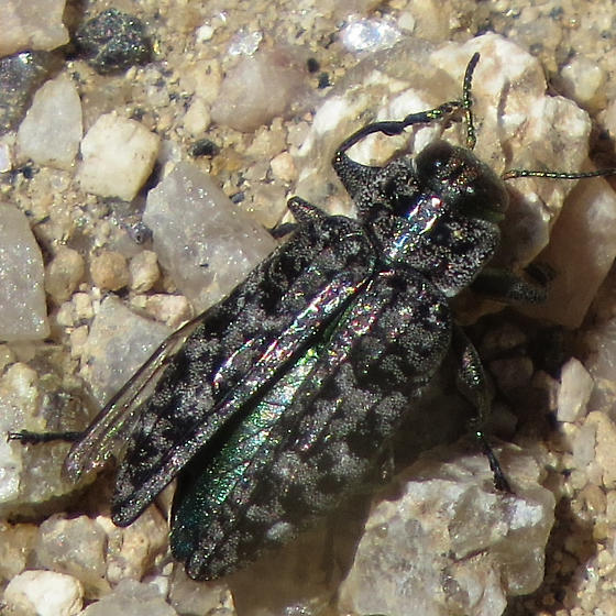 Black and gray metallic beetle with gold highlights - Chrysobothris