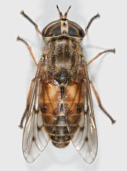 BG715 C0841 - Hybomitra lasiophthalma - female