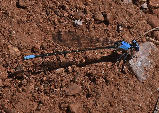 Damselfly 4040 - Argia apicalis - male