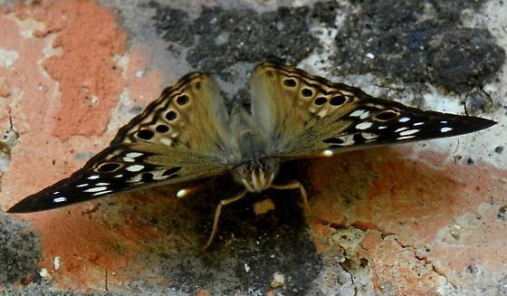 Hackberry Emperor (Asterocampa celtis) ? - Asterocampa celtis - male