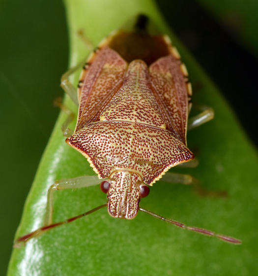 predatory stink bug - Podisus brevispinus